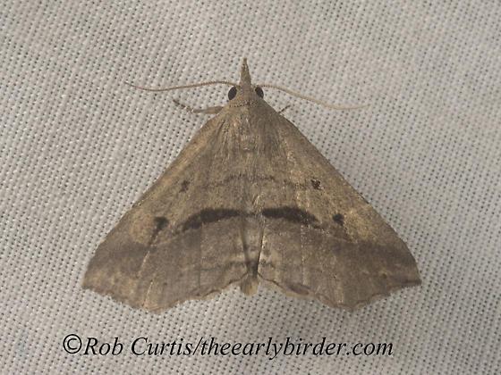 9050132 moth - Ledaea perditalis