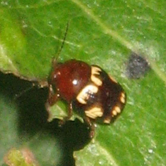 Casebearer beetle - Cryptocephalus badius