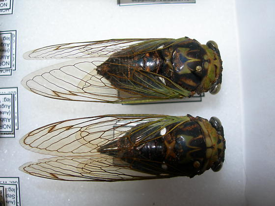 Tibicen tibicen - Neotibicen tibicen - male - female
