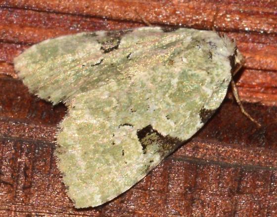 Pale Green Moth - Leuconycta diphteroides