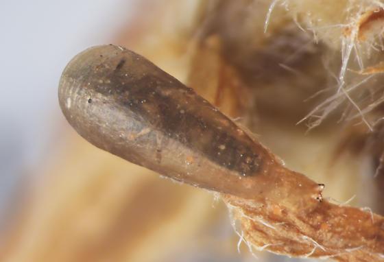 Syrphidae, pupa