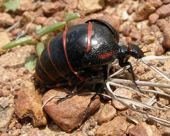 Meloidae: Megetra sp. - Megetra punctata