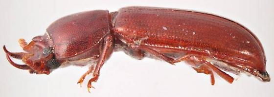 Gnatocerus cornutus - male