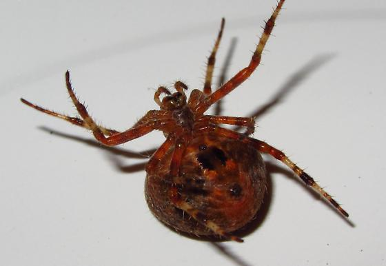 christmas tree spider araneus gemma bugguide net. Black Bedroom Furniture Sets. Home Design Ideas