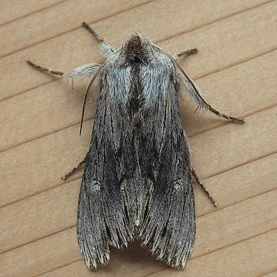 Noctuidae: Cucullia strigata - Cucullia strigata