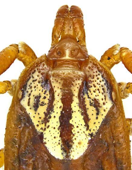 Amblyomma? Female? - Amblyomma maculatum