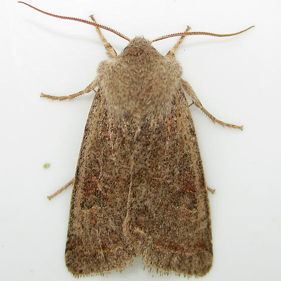 Speckled Green Fruitworm Moth - Hodges#10495 - Orthosia hibisci