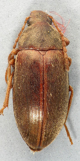Chestnut Comb-clawed  - Isomira pulla