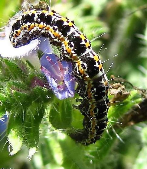 Caterpillar on Echium vulgare - Ethmia bipunctella
