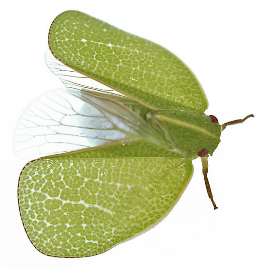 Planthopper w/what? - Acanalonia servillei