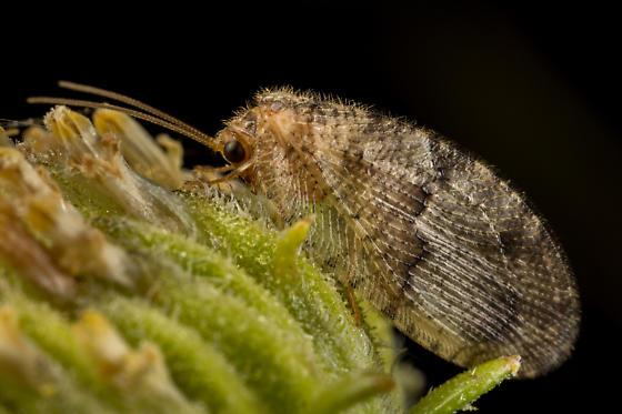 Brown Lacewing - Megalomus moestus