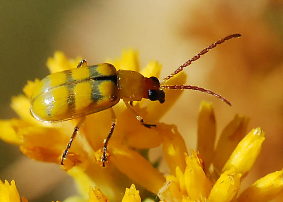 Banded cucumber beetle, lightly marked - Diabrotica balteata