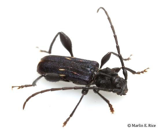 longhorned beetle - Physocnemum brevilineum