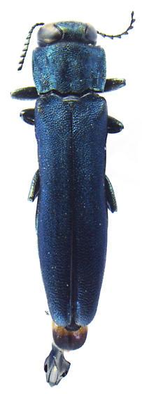 Agrilus sulcicollis - male