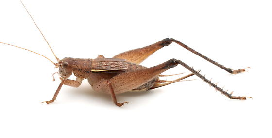 Hapithus brevipennis - female