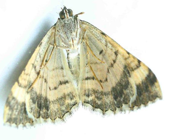 Lepidoptera--? - Archirhoe neomexicana