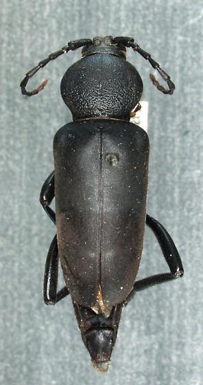 Calloides lorquinii (Buquet, 1859) - Calloides lorquinii - female