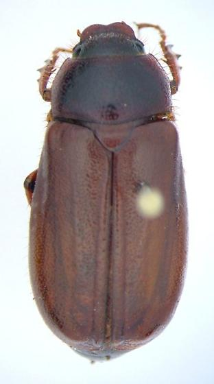 Phyllophaga balia - female