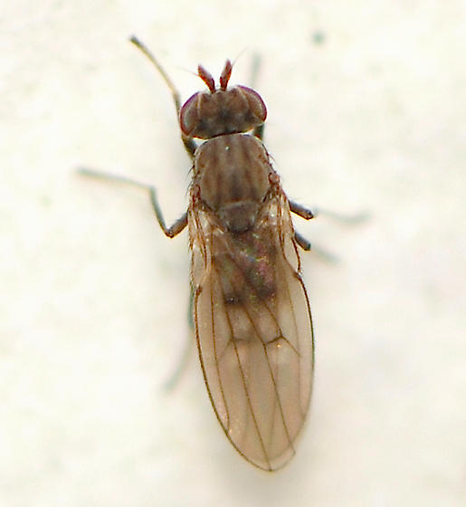 small fly ID - Philygria debilis