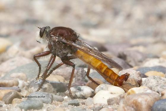 Proctacanthus - Proctacanthus hinei - male