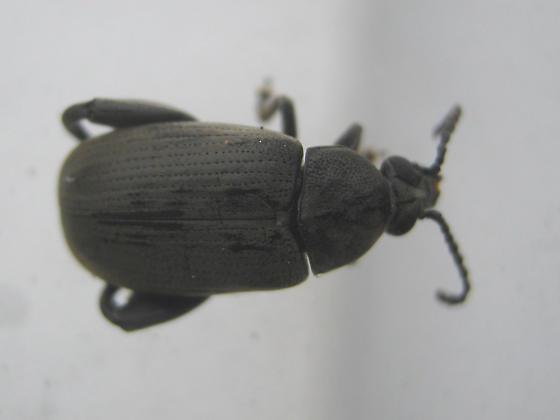 Coconut Borer - Pachymerus nucleorum