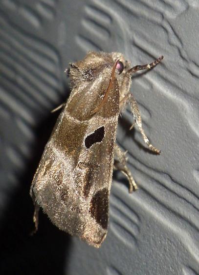 Moth41 - Plagiomimicus pityochromus