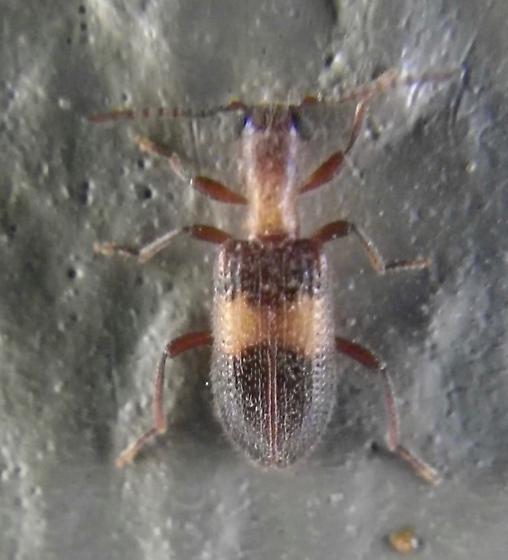 Beetle 6.23.17 - Cymatodera aegra-complex