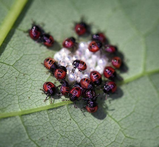 true bug nymphs