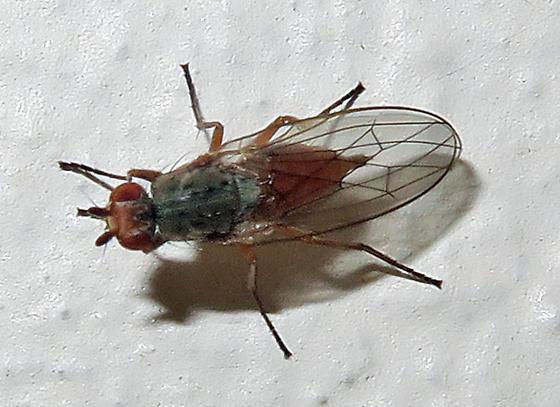 Anthomyiidae?