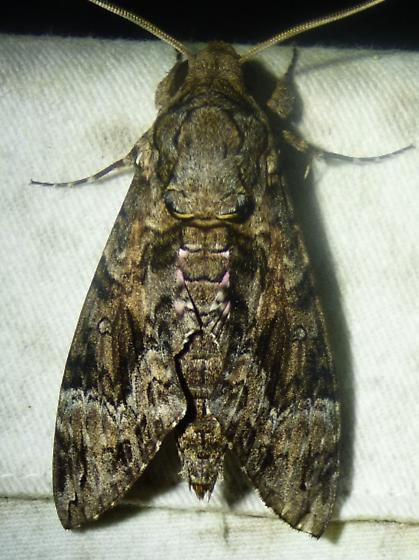 unknown moth - Agrius cingulata