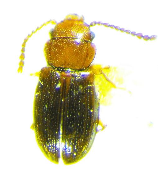 Laemophloeid - Charaphloeus