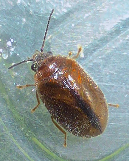 Brown Bug - Contacyphon