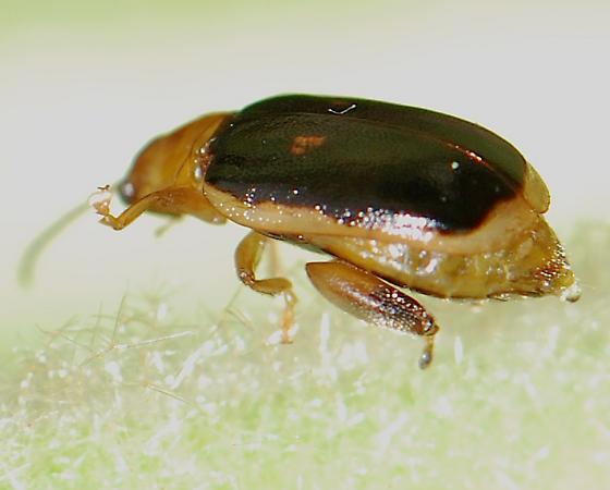 Beetle - Capraita circumdata