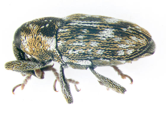 Curculionidae, lateral - Cosmobaris scolopacea