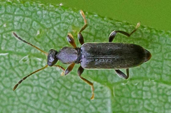 ant-like flower beetle - Macratria confusa