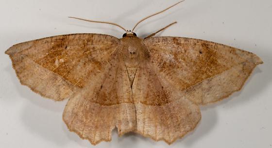 Moth to porch light  - Eutrapela clemataria