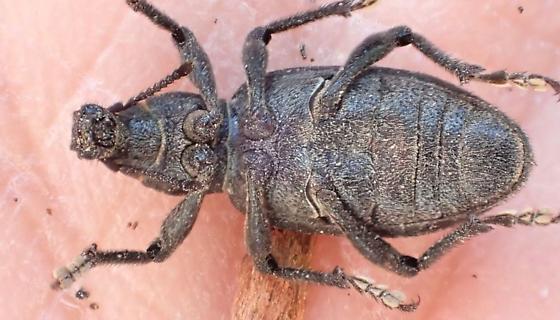 Mottled-blackish broadnose weevil - Trichalophus
