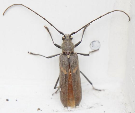 Worcester MD Longhorn ID needed - Knulliana cincta