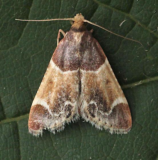 moth 2019_07_29 IMG_5646 - Pyralis farinalis