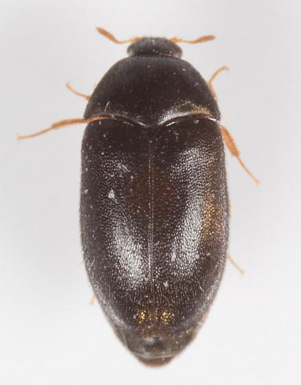 Beetle - Attagenus brunneus - female