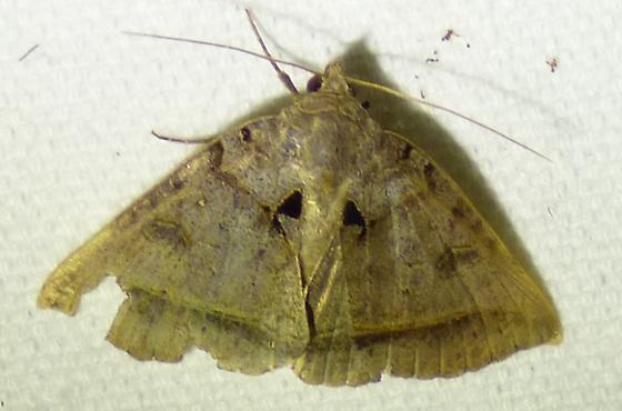 Celiptera frustulum - Black Bit Moth - Celiptera frustulum