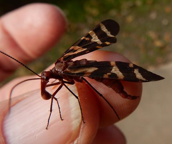 Panorpa nuptialis  - Panorpa nuptialis