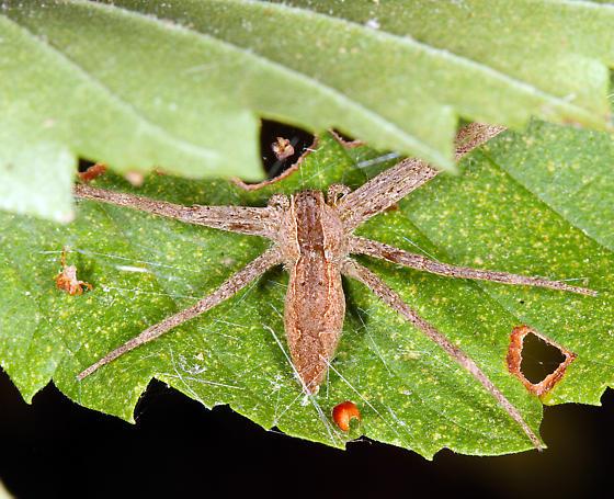 unidentified spider - Pisaurina mira