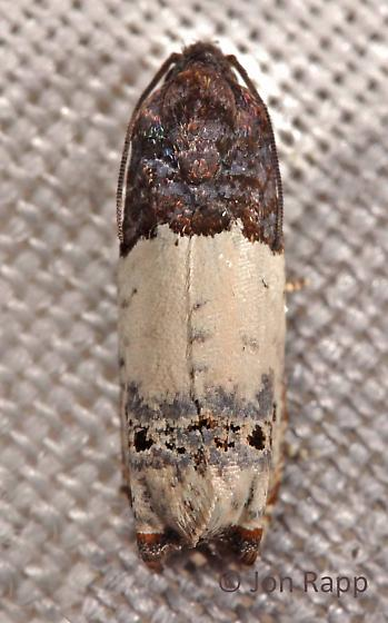 Goldenrod Gall Moth - Epiblema scudderiana
