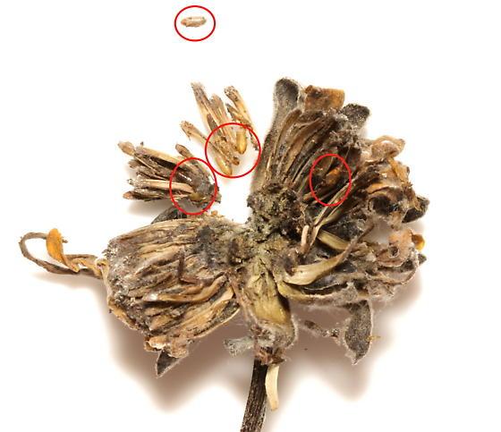 Agromyzidae, flower head, spent puparia