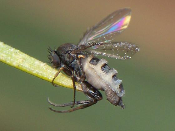 Aschiza Fly? - Megaselia