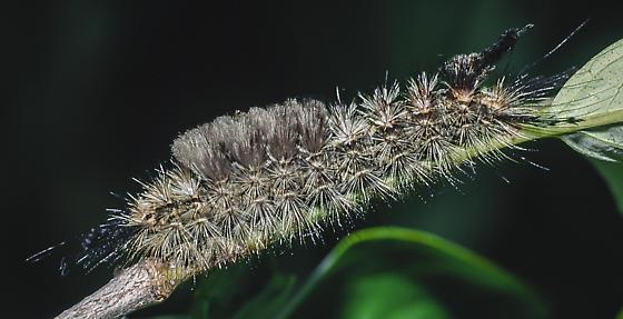 Dasychira cinnamomea