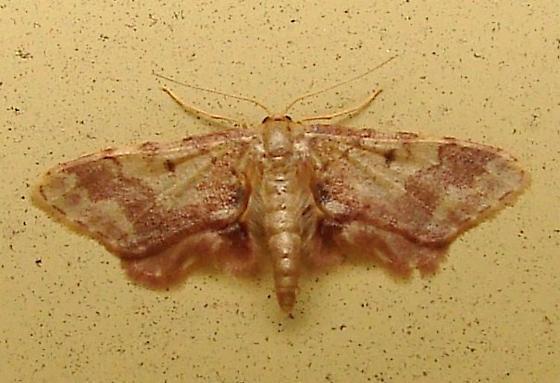 Moth ID - Idaea furciferata