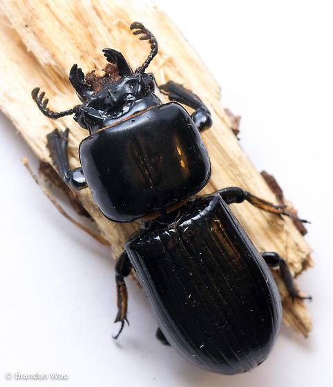 Odontotaenius floridanus