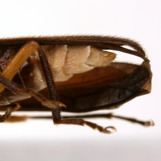 Photuris flavicollis Fall - Photuris flavicollis - male